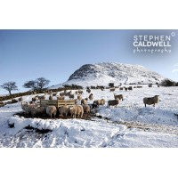 Slemish Sheep